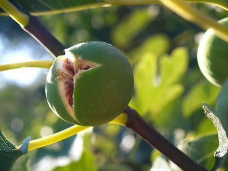 The fig on fig tree