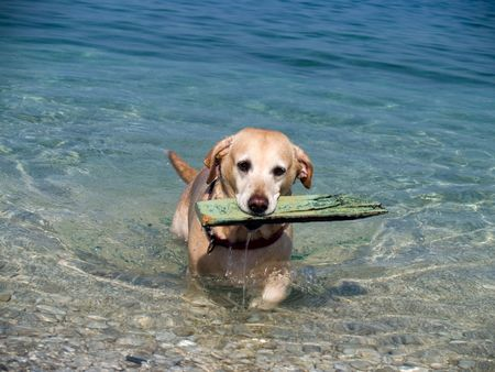 Yellow labrador carries a board out of the sea photo