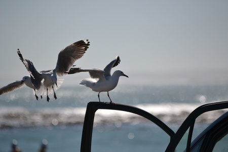Seagulls close up on car window with beautiful blue ocean blurry background
