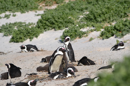 penguins on beach: Colony of Penguins lying on Atlantic beach