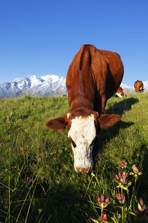 cow and grass photo