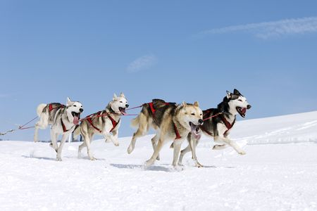 sled: snow dogs Stock Photo