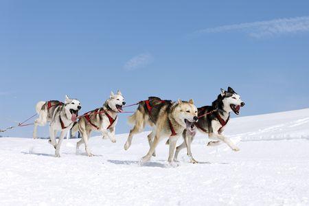 snow dogs Stock Photo - 8122611