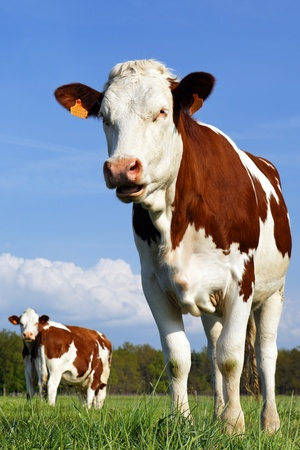 the most beautiful cow Stock Photo - 8308006