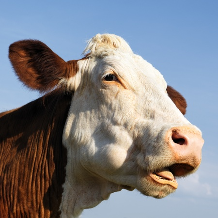 beautiful cow: portrait of beautiful cow in blue sky Stock Photo