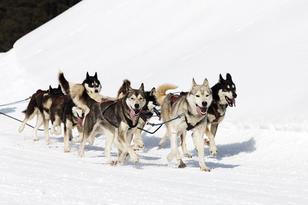 sled: husky race on alpine mountain in winter