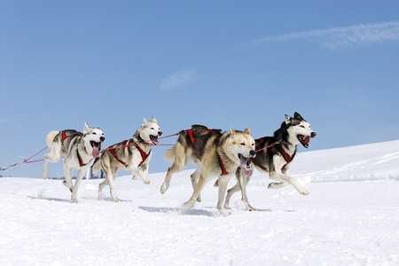 dog sled: husky race on alpine mountain in winter