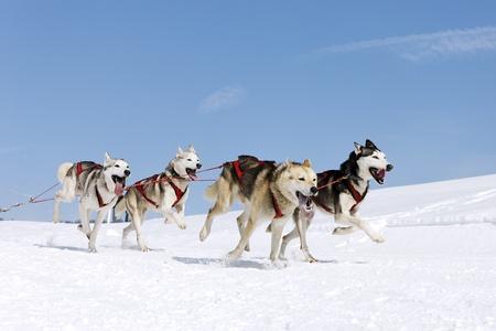 husky race on alpine mountain in winter