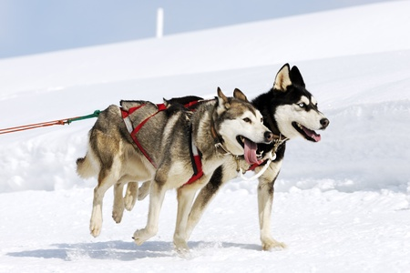 husky race on alpine mountain in winter photo