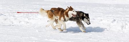 husky race on alpine mountain in winter photo