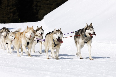 sled dogs: husky race on alpine mountain in winter