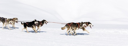 sled dog: husky race on alpine mountain in winter