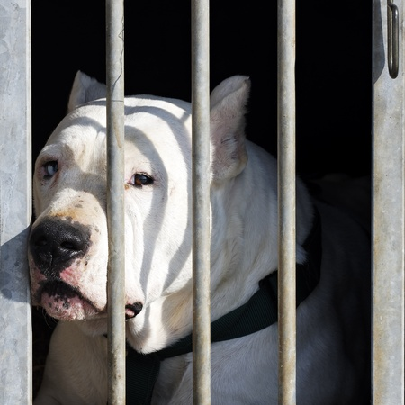waiting convict: dangerous dog with big head in a cage Stock Photo
