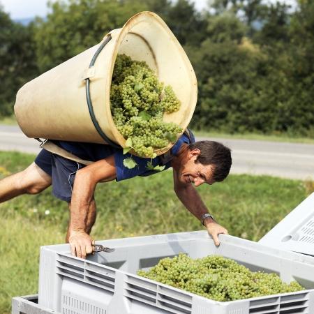프랑스에서 수확하는 동안 포도를 수확하는 농부
