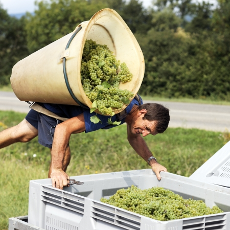 wine grower: farmer harvesting the grapes during the harvest in France