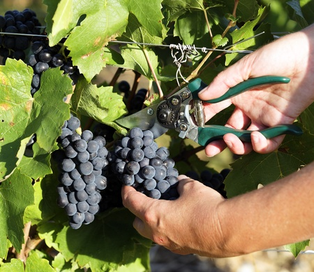 grape harvest: woman hands harvesting grapes in a fields