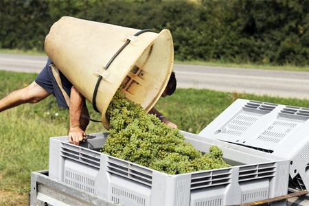 wine grower: man harvesting the grapes during the harvest