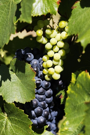 grape-vine wait the harvesting in France in summer