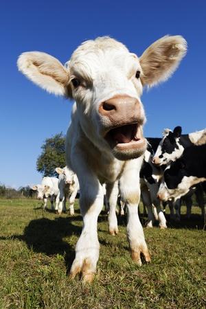 cows grazing: cute baby cow on farmland in summer