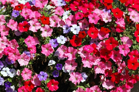 petunia: pink, red, white and violet flowers in garden