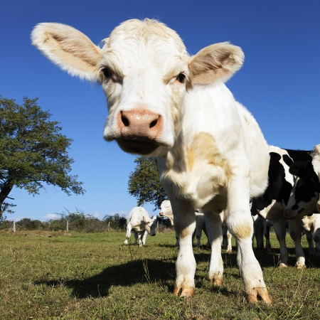 baby cow on farmland in summer  Stock Photo