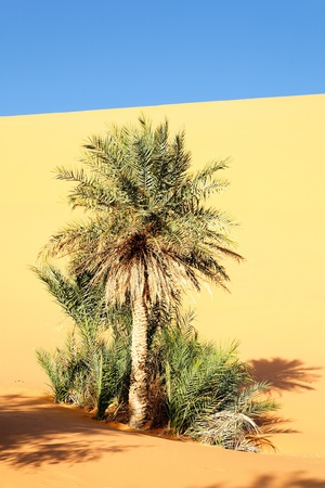 a palm in the desert with sand dunes and blue sky  photo