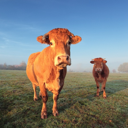 jersey cattle: brown cow and calf in morning light Stock Photo