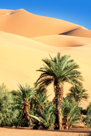 palm tree in the desert with sand dunes and blue sky  photo