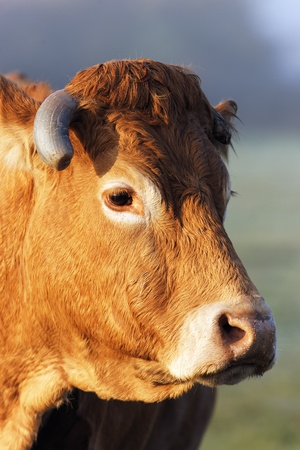 beef cattle: head shot of cow in morning light