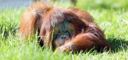 hominid: oran utan sdraiato sull'erba verde Archivio Fotografico