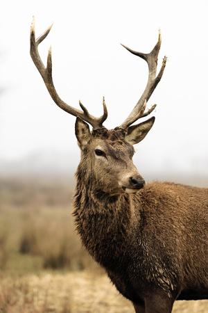 venado cola blanca: ciervos salvajes en el bosque con niebla matinal
