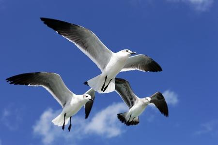 bandada pajaros: tres gaviotas volando en el cielo azul en México