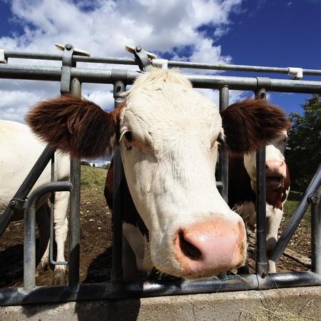 head of cow in farmland in summer Stock Photo - 11873869