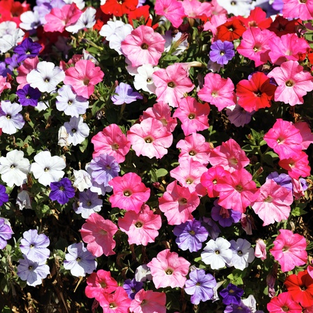 pink, red, white and violet flowers in spring photo