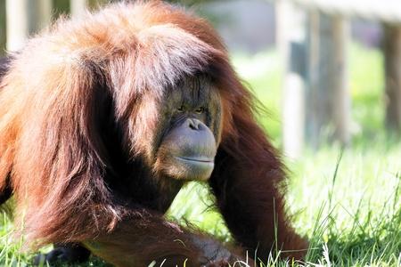 orang: oran utan on the grass in a zoo Stock Photo
