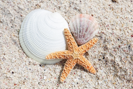 seastar and shells on a caribbean beach photo