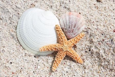 seastar: seastar and shells on a caribbean beach