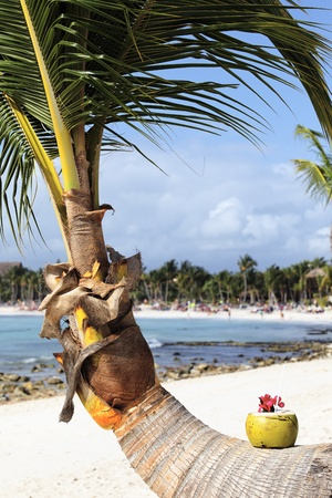 Coconut with drinking straw on palm tree on caribbean beach photo