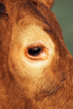 cow looking at camera, close up on eye  Stock Photo - 13595733