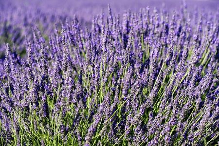 stalk flowers: rich lavender field in Provence in summer, France Stock Photo