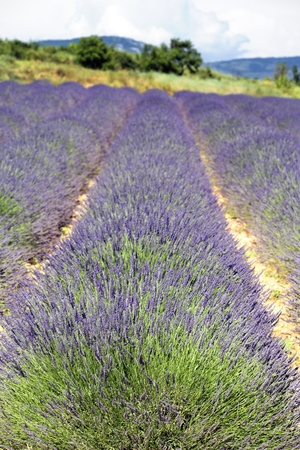 line of lavender field in France in summer