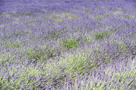 A rich lavender field in Provence, France