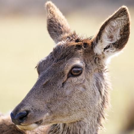 portrait of wild doe in alert in a meadow