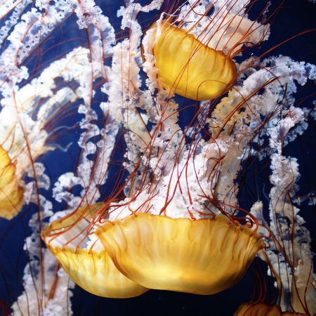 yellow jellyfish with blue ocean water  Stock Photo - 16100133