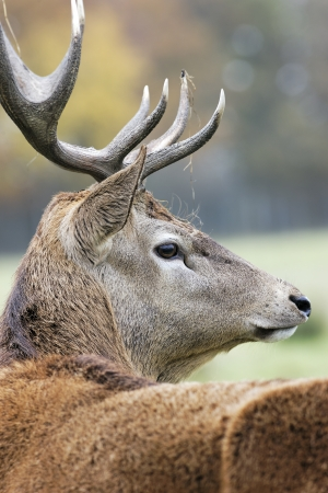 white tail deer: majestic deer in alert in autumn Stock Photo
