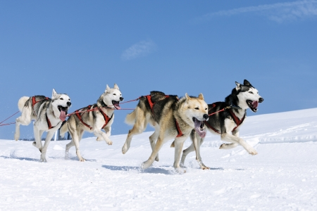 sportive dogs in the snow, extreme, mountain photo