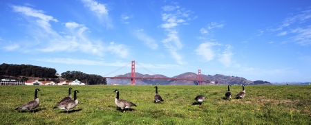 panoramic view of Golden Gate Bridge whith gooses, San Francisco  photo