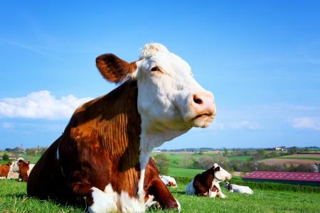 晴れた日で緑の夏の牧草地で牛 写真素材