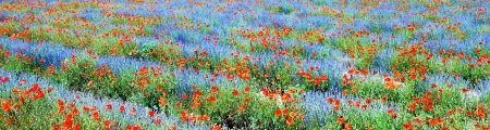 Panoramic view, field of violet lavender and red poppy flowers  photo