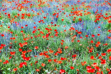 herbs of provence: Field of violet lavender and red poppy flowers  Stock Photo
